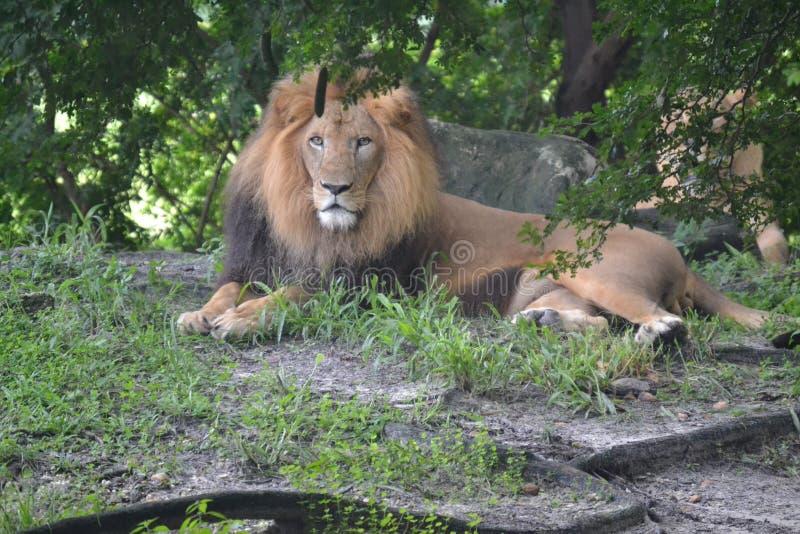 在动物园的狮子 库存图片