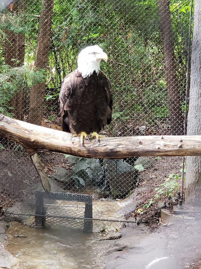 在动物园的白头鹰 免版税图库摄影