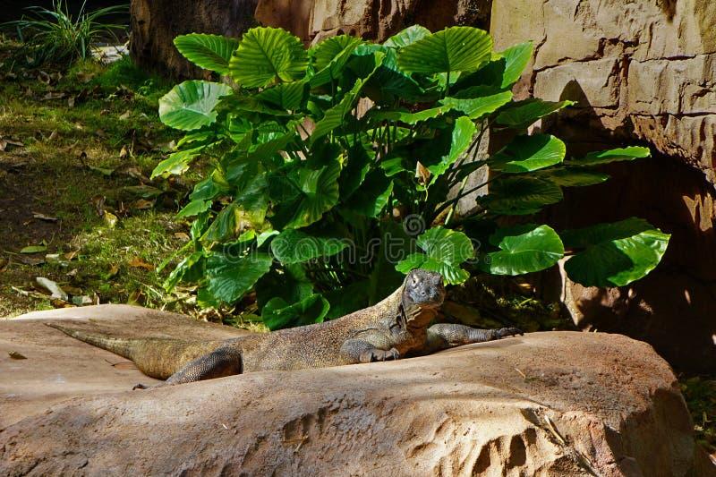 在动物园的科莫多巨蜥 免版税库存照片