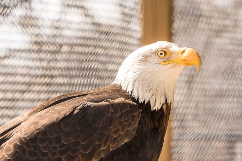 在动物园的美国白头鹰 库存图片