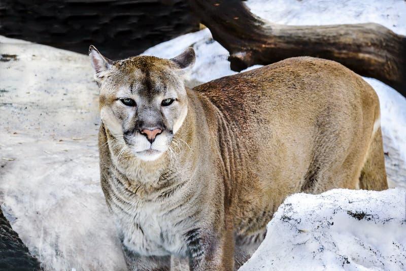 在动物园的美洲狮特写镜头在早期的春天看警告神色 免版税库存图片