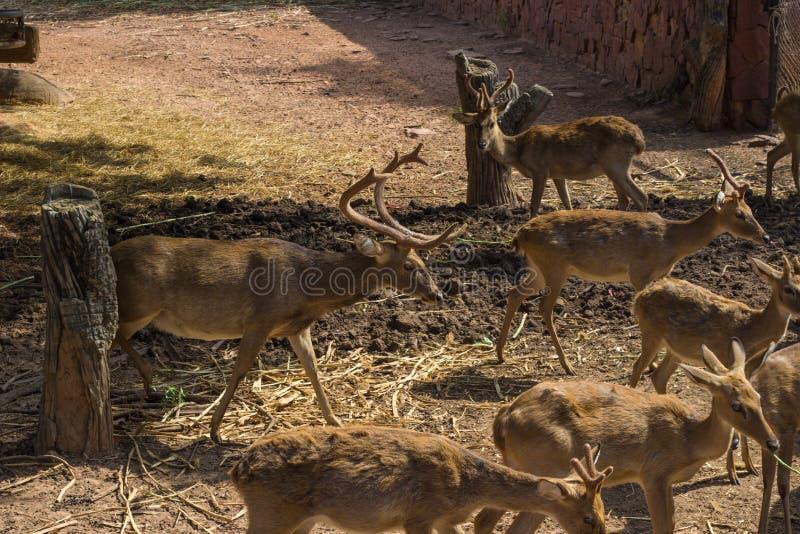 在动物园等待的食物的许多鹿 免版税图库摄影