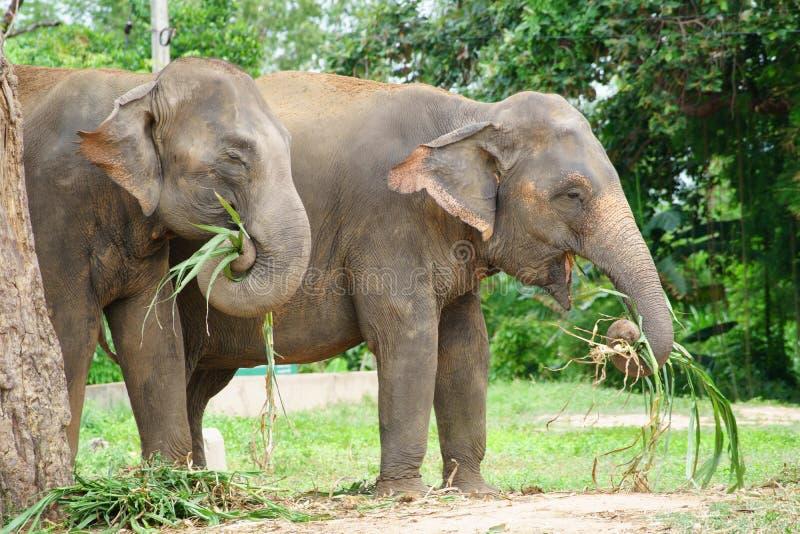在动物园里吃草的两头泰国大象图片