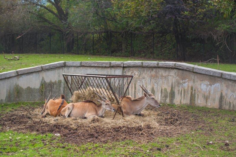 在动物园里的友好的棕色羚羊 免版税库存照片