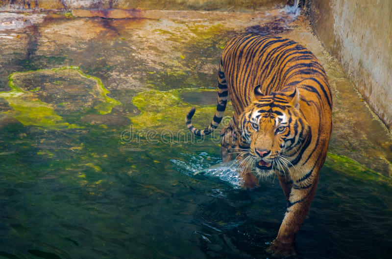 在动物园里走在水的老虎 免版税库存照片