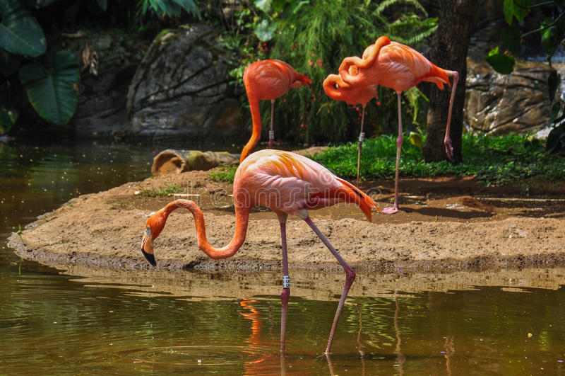 在动物园,卡利,哥伦比亚的桃红色佛拉明柯舞曲 库存照片