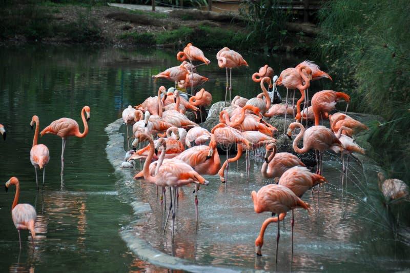 在动物园,卡利,哥伦比亚的桃红色火鸟 库存照片