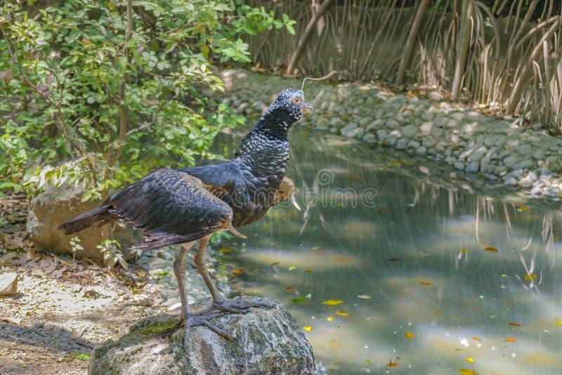 在动物园,瓜亚基尔,厄瓜多尔的Anhima Cornuta 免版税库存图片