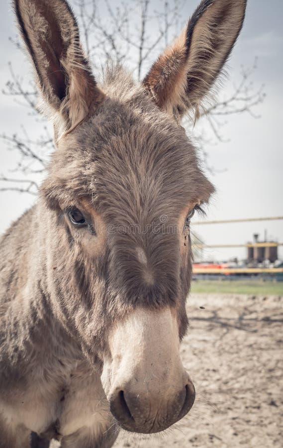 在动物庇护所的嬉戏的驴 库存照片