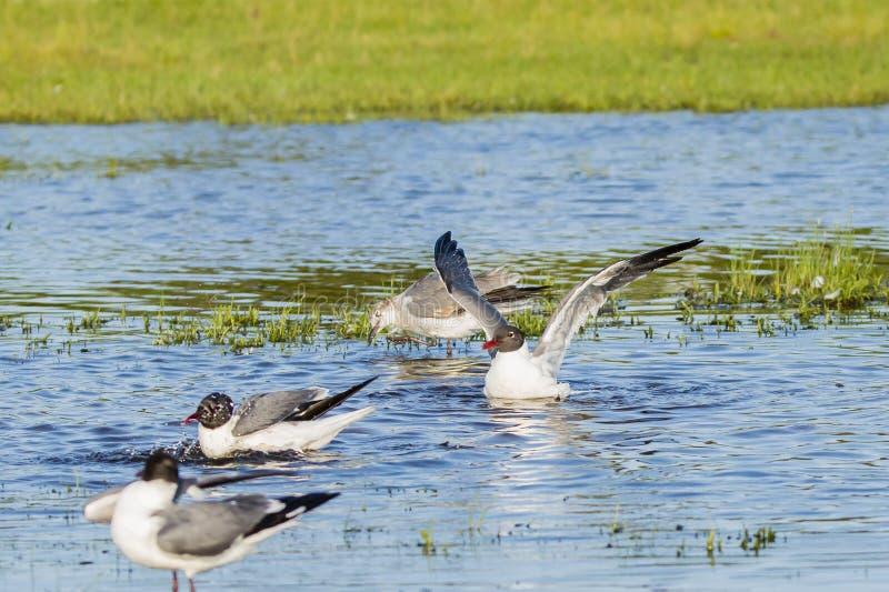 在助长全身羽毛拍动的笑的鸥在水中 免版税库存照片
