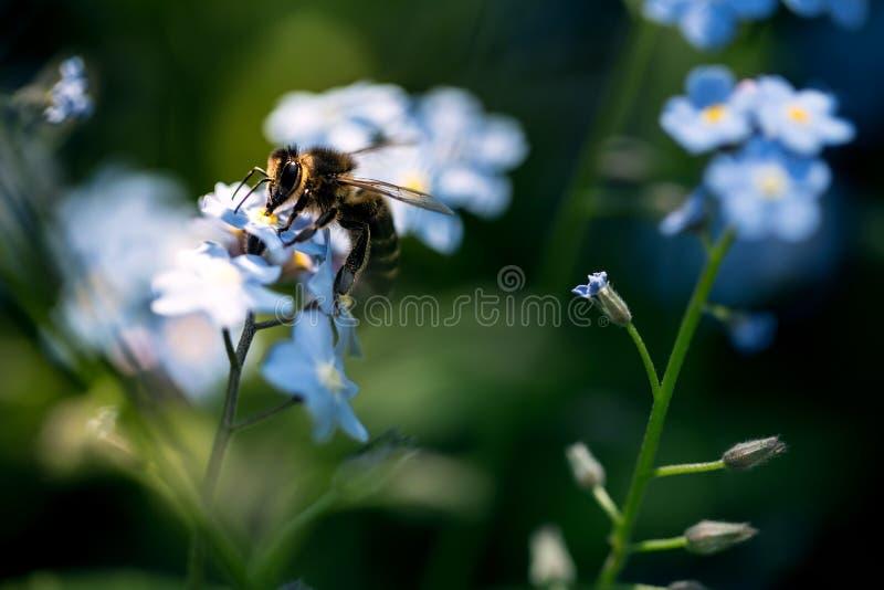 在勿忘草的蜂 免版税库存照片