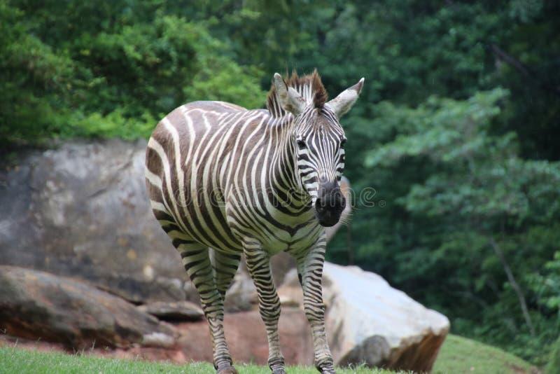 在北卡罗来纳动物园的斑马 免版税库存图片