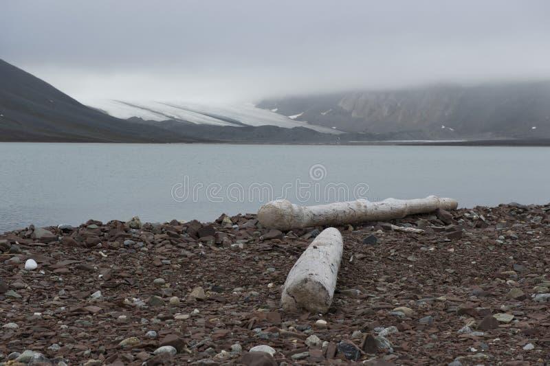 在北极的岸的一块漂流木头 免版税库存图片
