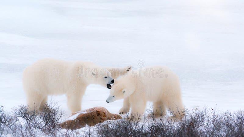 在北极雪的两头白色蓬松北极熊 免版税库存图片
