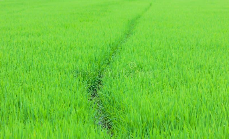 在北的绿色米领域 图库摄影