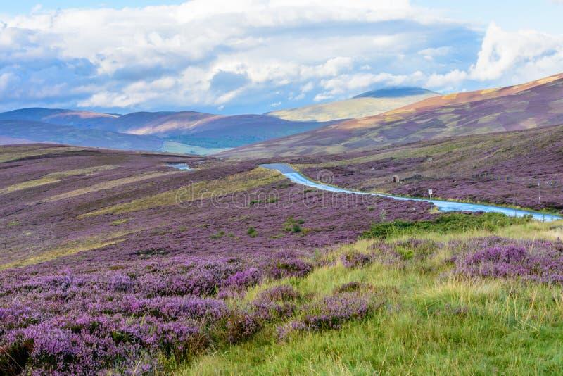 在北苏格兰的轻轻地绵延山的石南花 库存图片