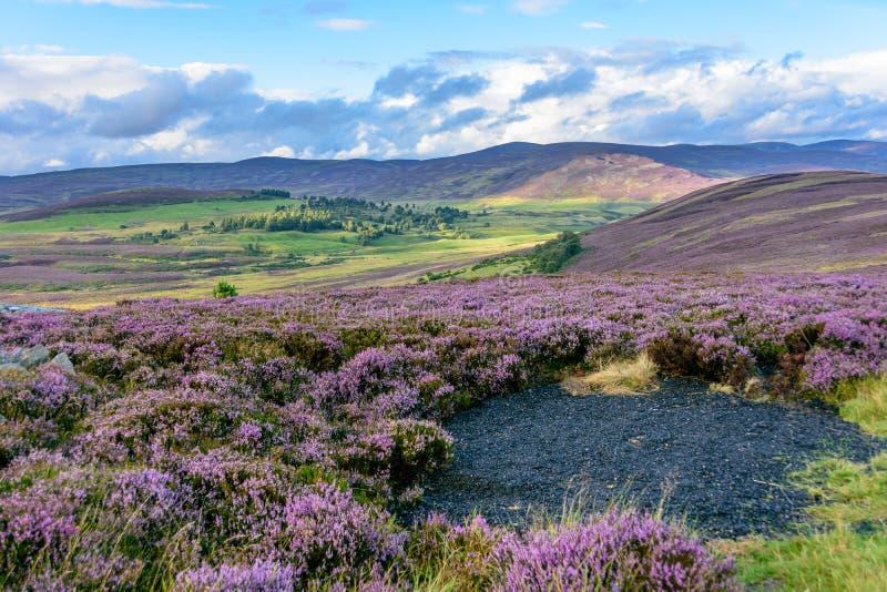 在北苏格兰的轻轻地绵延山的石南花 免版税库存照片