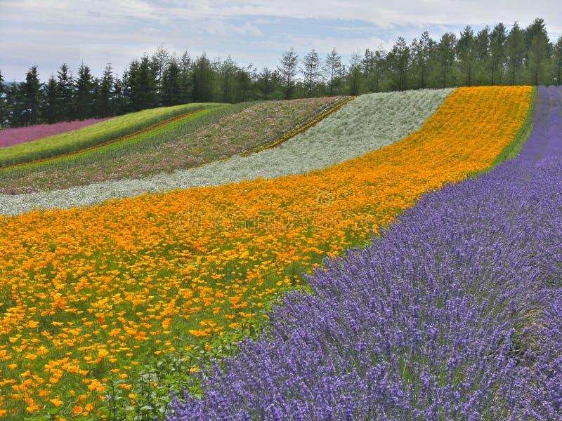 在北部的五颜六色的花田在秋天期间,北海道,日本 库存图片