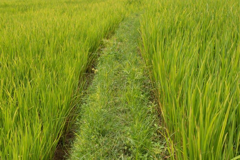 在北高地的绿色米领域 库存图片