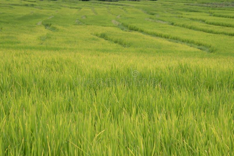 在北高地的绿色米领域 免版税库存图片
