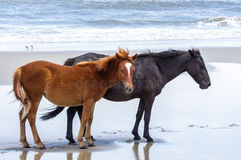 在北Currituck外面B的野生殖民地西班牙野马 库存照片