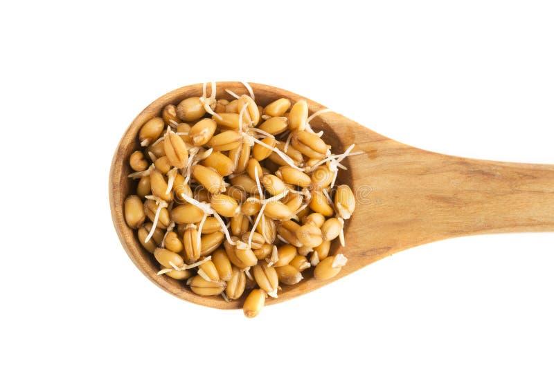 在匙子的发芽麦子 库存照片