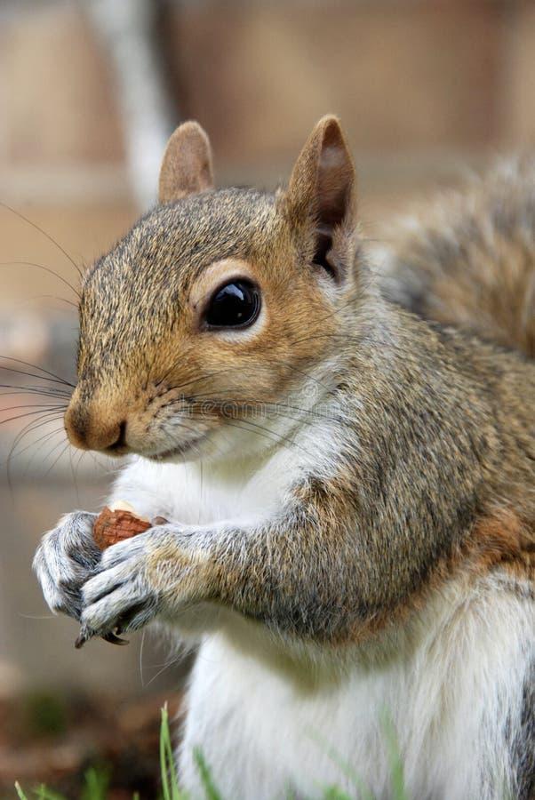 在午餐时,灰松鼠摆姿势拍照 图库摄影
