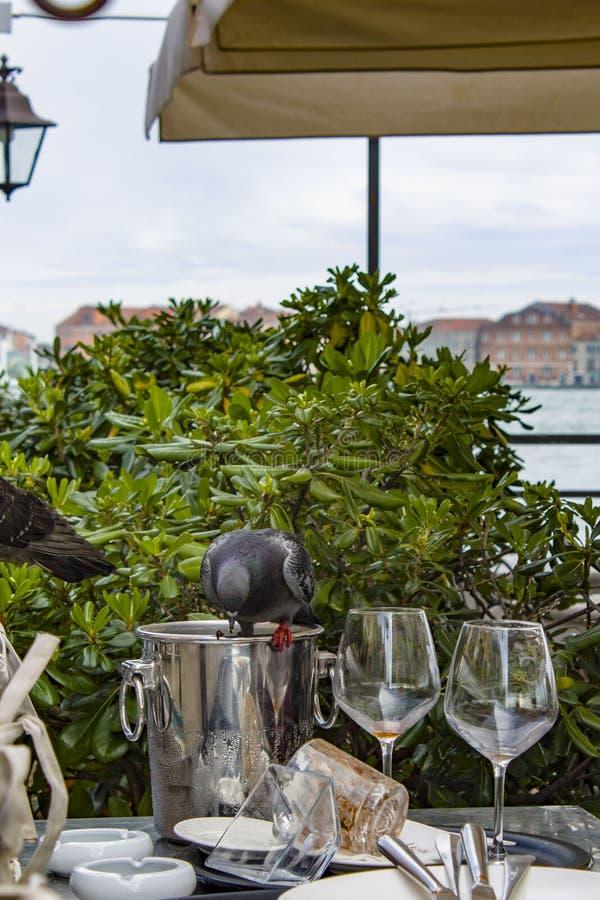 在午餐的城市鸽子 是午餐的时间!鸽子不等待咖啡馆的侍者服务 客服bac 免版税库存图片