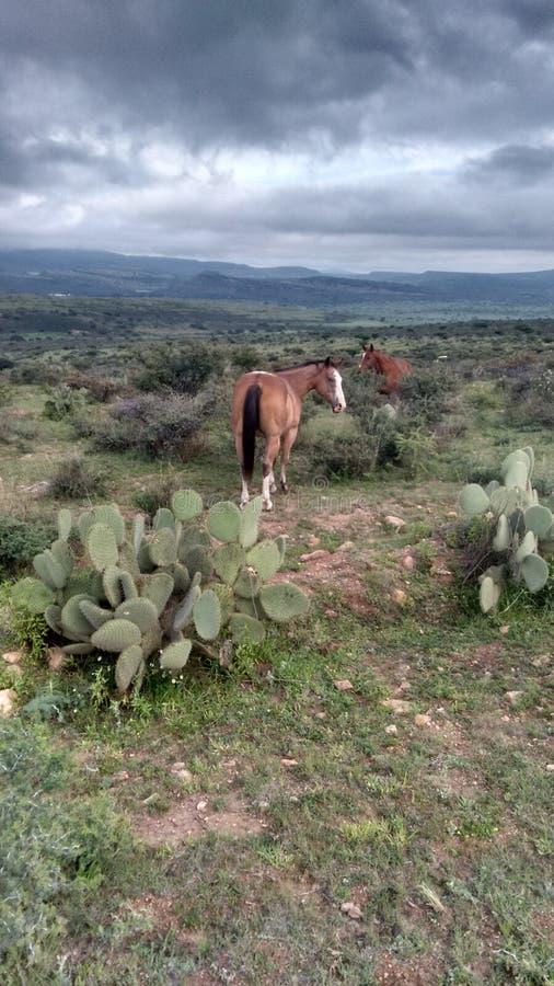 在半沙漠的马 库存图片