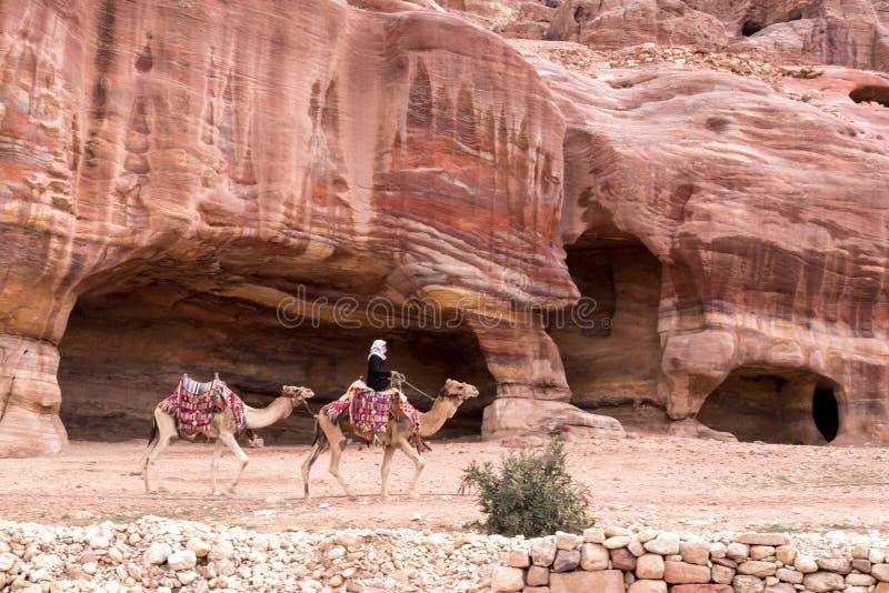 在华丽和五颜六色的马鞍的两头骆驼有在红色前面的流浪者车手的 库存照片