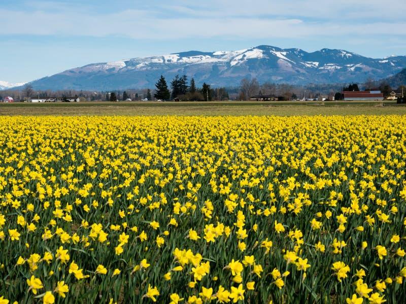 在华盛顿州的开花的黄水仙领域 免版税库存照片