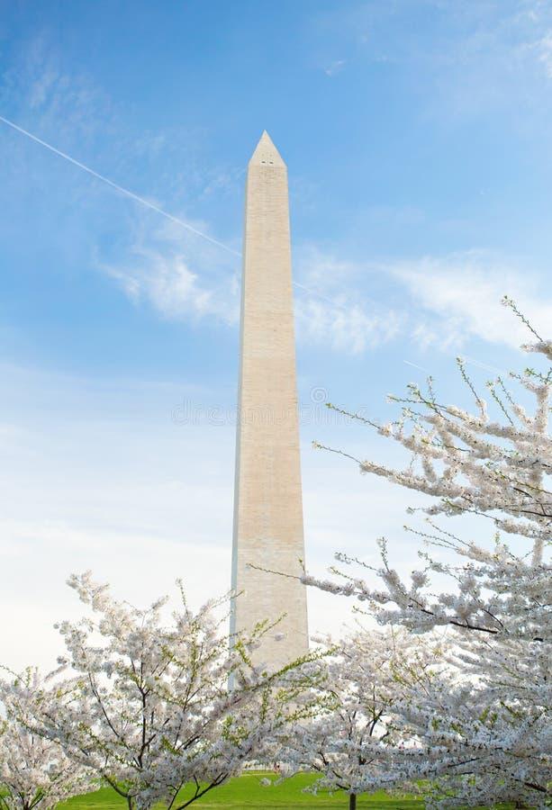 在华盛顿纪念碑的樱花在DC 图库摄影