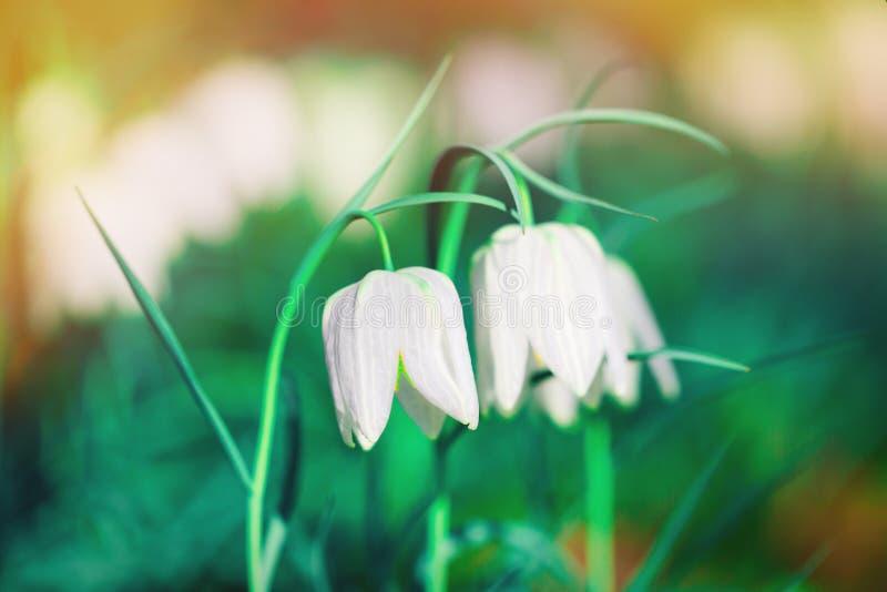 在华美的颜色光的两束白花 免版税库存照片
