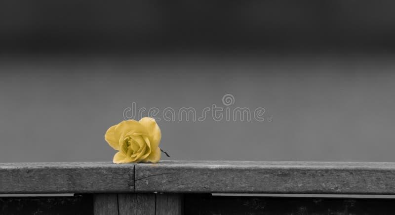 在单色背景的黄色玫瑰 免版税库存图片