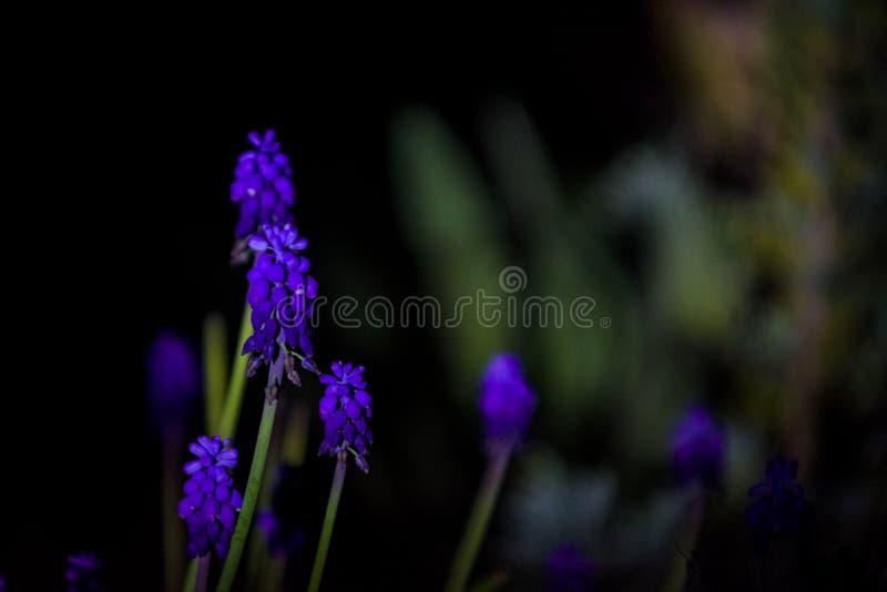 在单音黑背景的明亮和异常的蓝色和紫罗兰色小花 拍摄在庭院里的夜 免版税库存照片