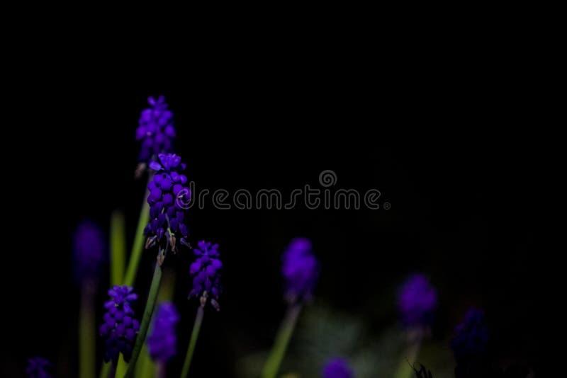 在单音黑背景的明亮和异常的蓝色和紫罗兰色小花 拍摄在庭院里的夜 库存照片
