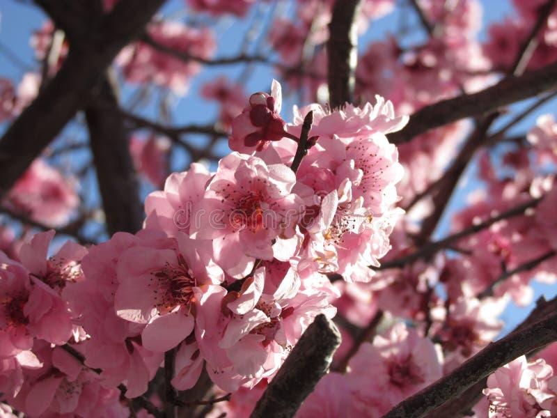 在南半球的桃红色樱花花 免版税库存图片