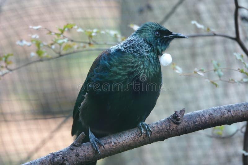 在南岛,新西兰的图伊鸟 库存照片
