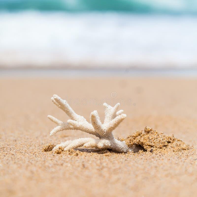 在南方的海滩洗的危险的Staghorn珊瑚骨骼 免版税图库摄影