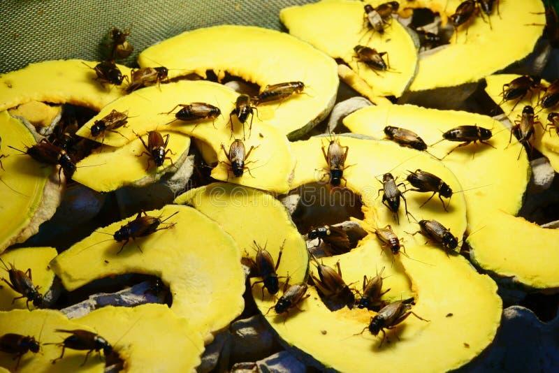 在南瓜的蟋蟀臭虫油煎的,普遍的快餐街道食物的在泰国 免版税库存图片