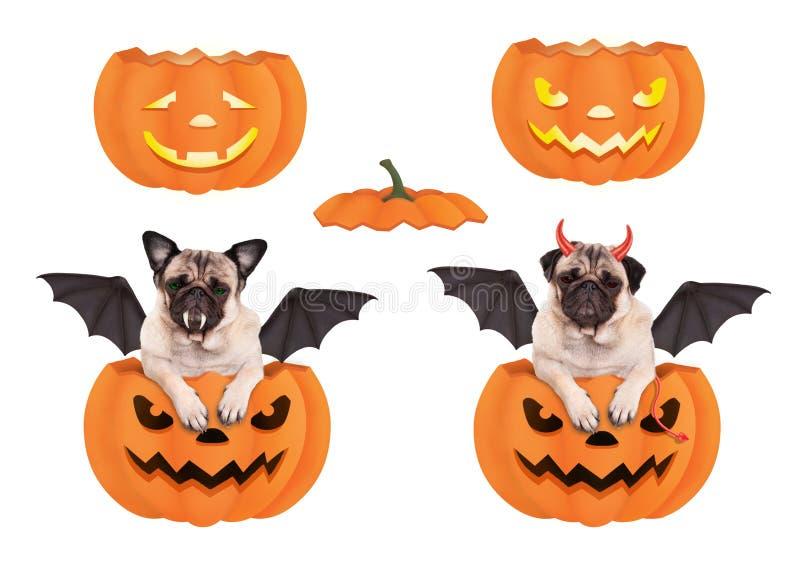 在南瓜的逗人喜爱的滑稽的哈巴狗狗,装饰在万圣夜作为棒和恶魔 免版税图库摄影