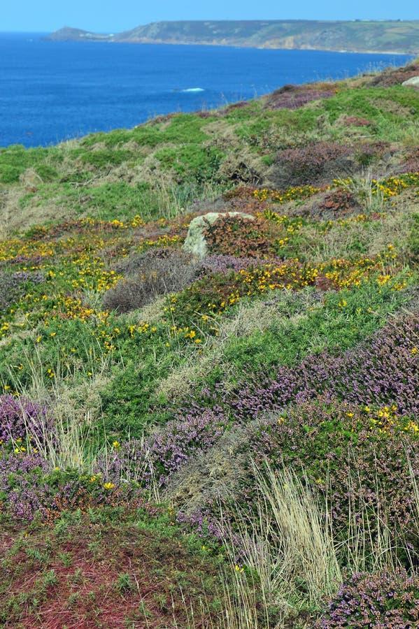 在南西部沿海小径康沃尔郡,英国的五颜六色的石南花 免版税库存图片