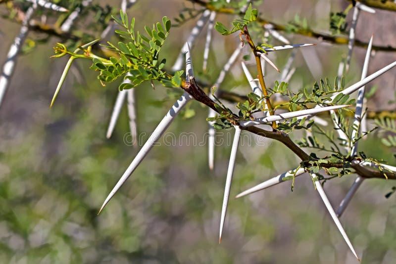 在南部非洲的干旱台地高原金合欢树的长的锋利的刺 免版税库存照片