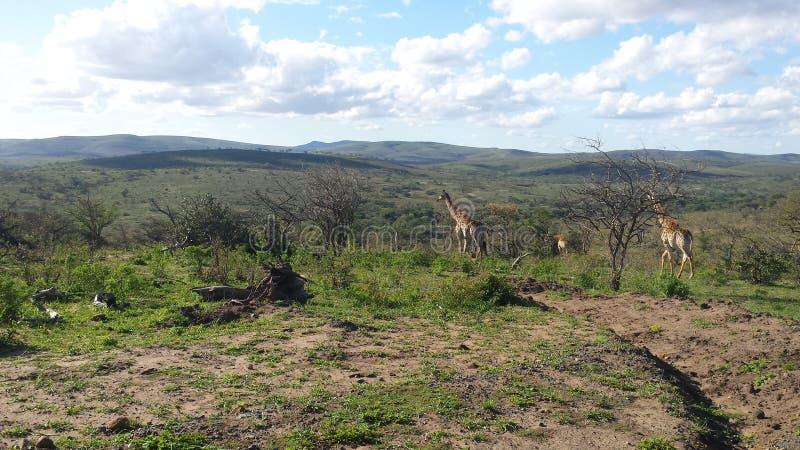 在南非大草原的遥远的长颈鹿 免版税库存图片