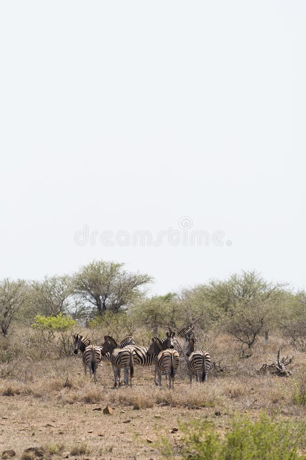 在南非的斑马 免版税图库摄影
