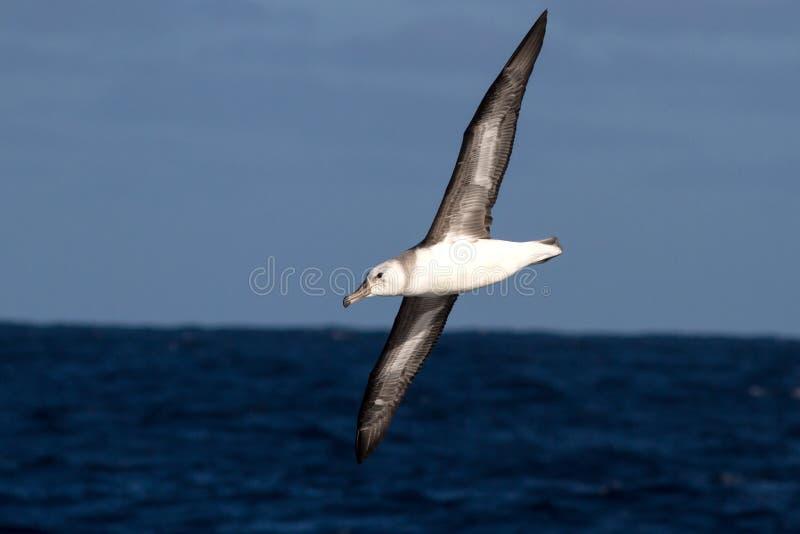 在南Atlant的水的幼小黑眉毛的信天翁 库存照片