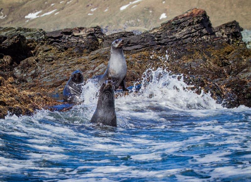 在南Geeorgia的大西洋海狗在南极洲附近 免版税库存照片
