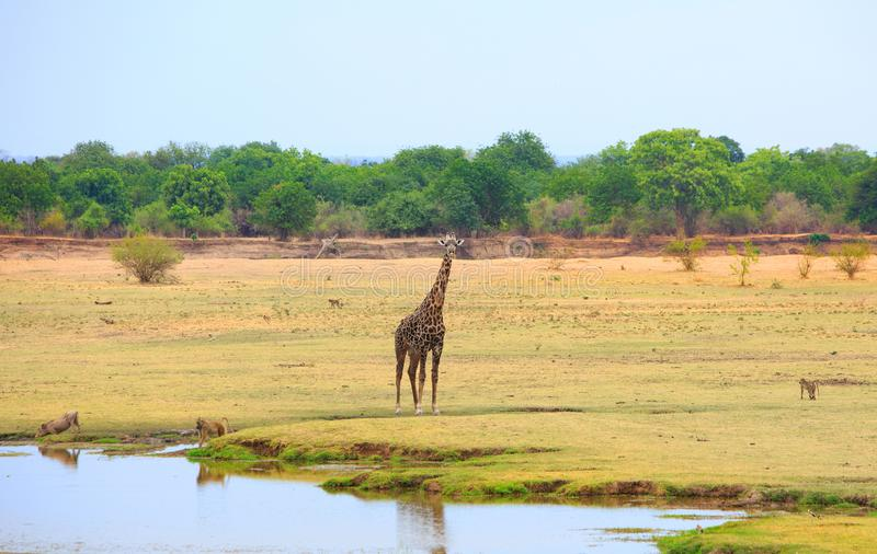 在南Luangwa的浩大的开放平原与长颈鹿狒狒和warthog,赞比亚,南部非洲 库存图片