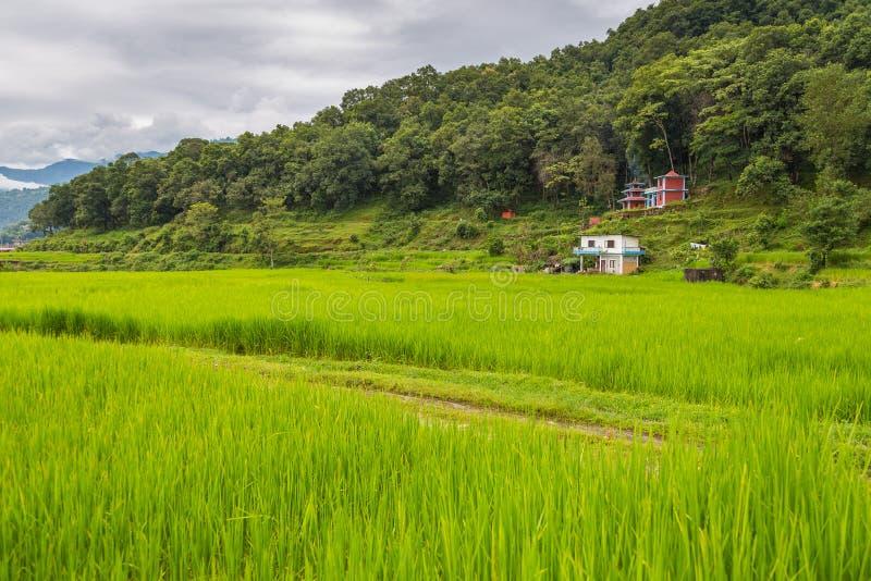 在博克拉谷的米领域 库存图片