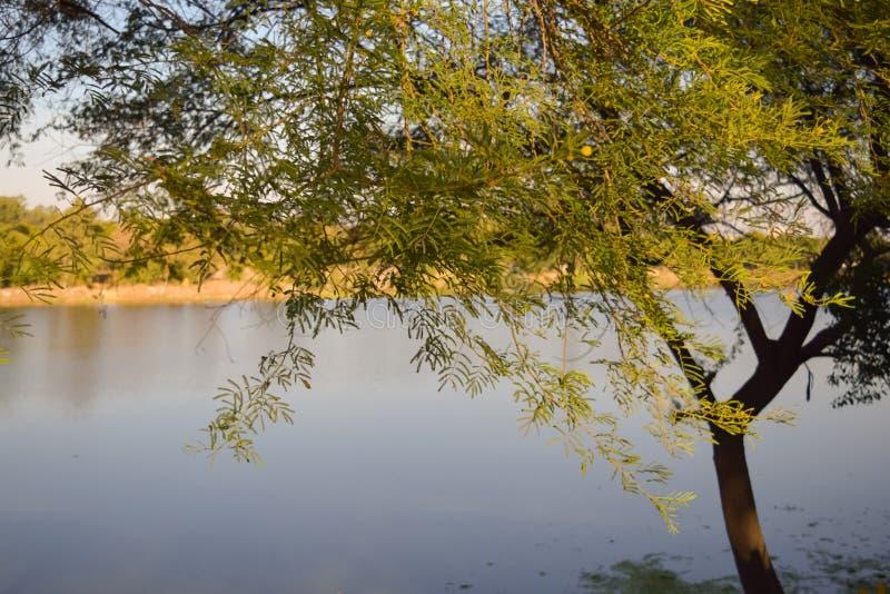 在博帕尔湖附近的树在日落期间 库存照片